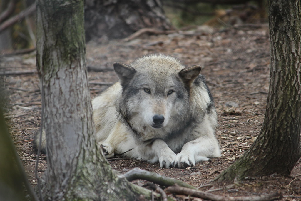 Laying_Timber_Wolf_2