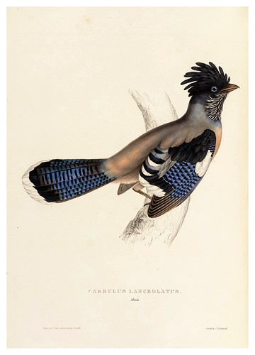 005-Garrulus Lanceolatus-A Century of Birds from the Himalaya Mountains-John Gould y Wm. Hart-1875-1888-Science Naturalis
