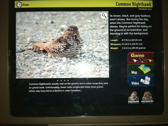 Nighthawk in Field Museum MAY 2013