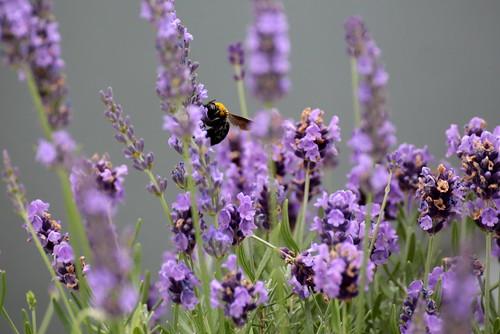 Breakfast of the Bumblebee