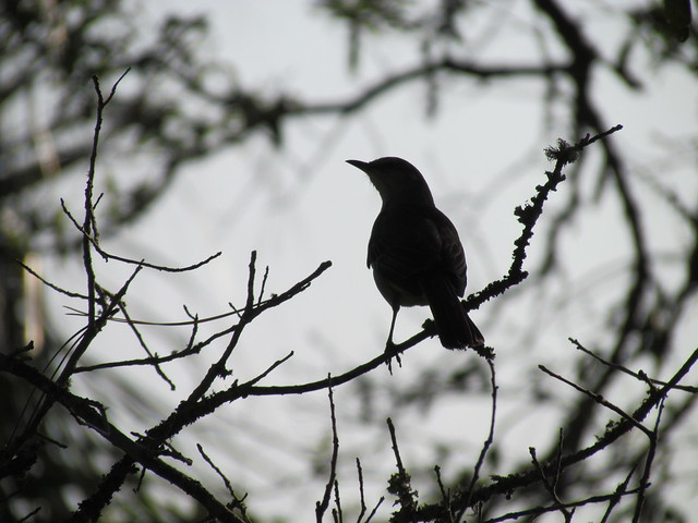 Northern Mockingbird (Mimus polyglottos) in Silhouette.