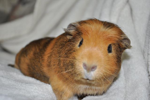 Crested guinea pig - photo#25