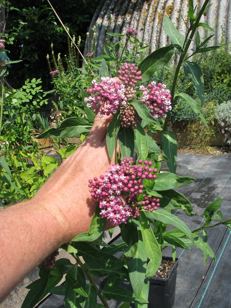 Asclepias rubra (below) & cf. purpurascens
