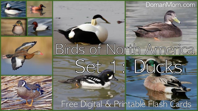 Free Birds of North America Printable & Digital Flash Cards, Set 1 (Ducks)