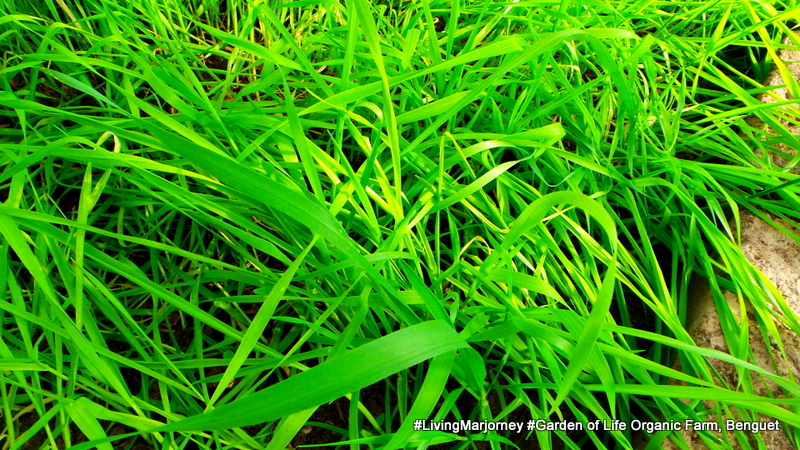 Wheat Grass at Benguet: The Garden of Life Organic Farm