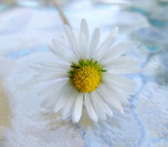 Daisy..........week 32   52/13