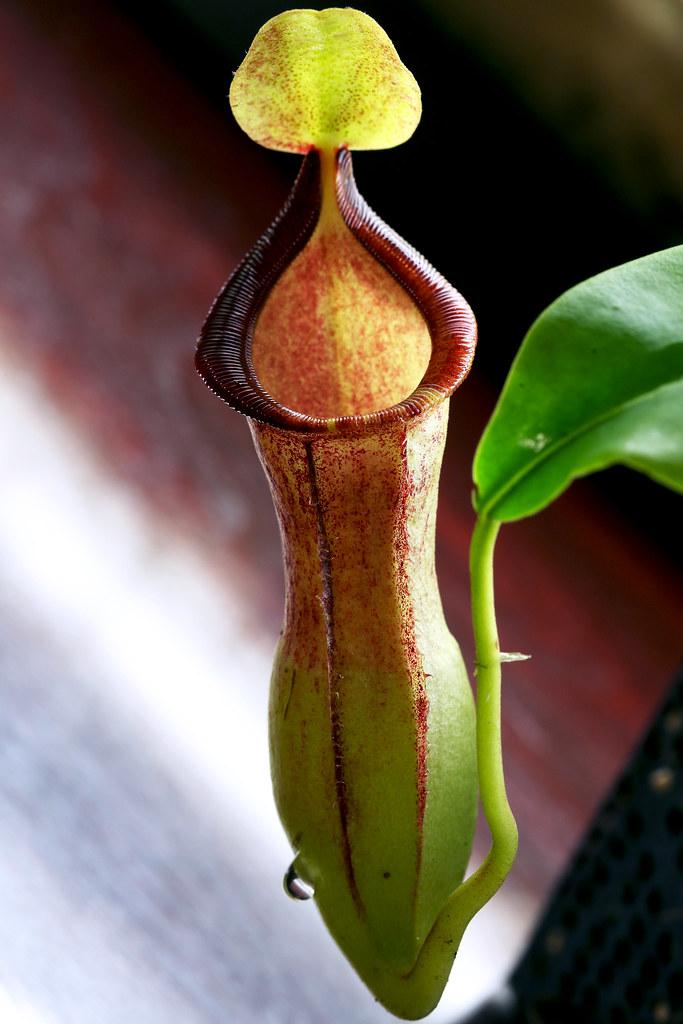 "N. spathulata x campy ""Carmen"" 8-21-13"