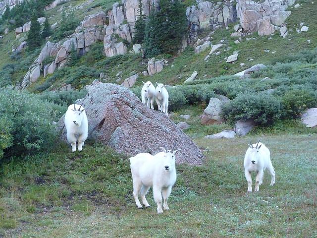 goaty goats