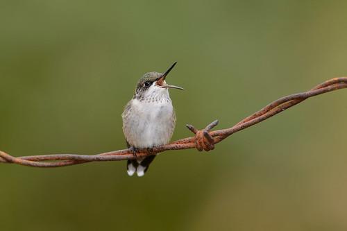 Hummingbird-44874.jpg