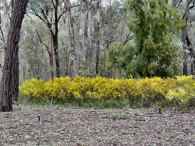 Gold Dust Wattle Acacia acinacea E Collins