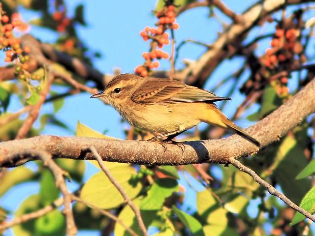 Palm Warbler western 20130928