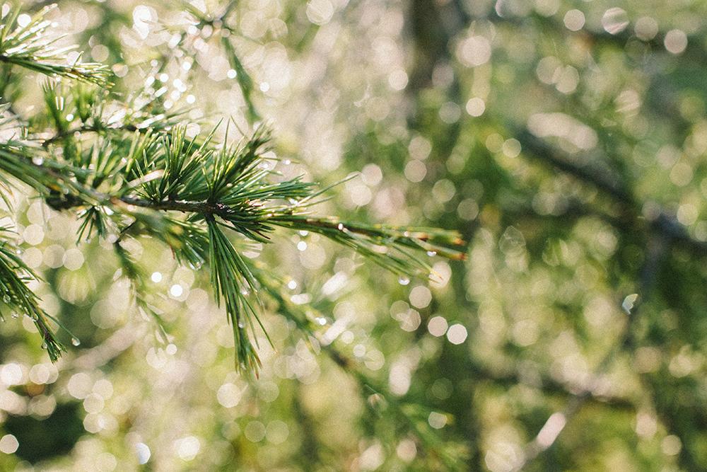 pine_2_web