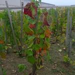 Pinot Noir-ranka hos Bollinger