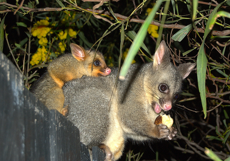 possums_mother_and_child-9