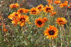 annual plant, calendula, prairie, flower, field, plant, macro photography, herb, wildflower, flora, meadow,