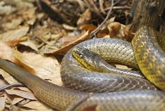 boas(0.0), eastern diamondback rattlesnake(0.0), boa constrictor(0.0), hognose snake(0.0), garter snake(0.0), sidewinder(0.0), anguidae(0.0), animal(1.0), serpent(1.0), snake(1.0), reptile(1.0), fauna(1.0), viper(1.0), scaled reptile(1.0), wildlife(1.0),