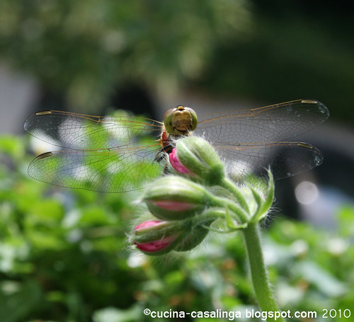 Libelle 3