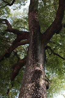 20131116-老樹-1