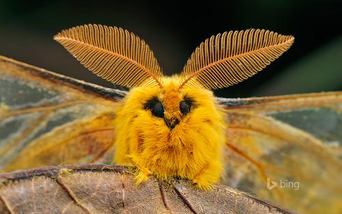 Squeaking silk moth, Qinling Mountains, Shaanxi, China