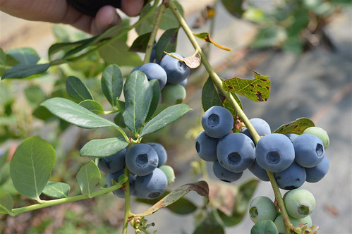 Barbara Robinson grows blueberries and other produce on her eastern Mississippi farm. Photo by Mississippi State University Extension Service