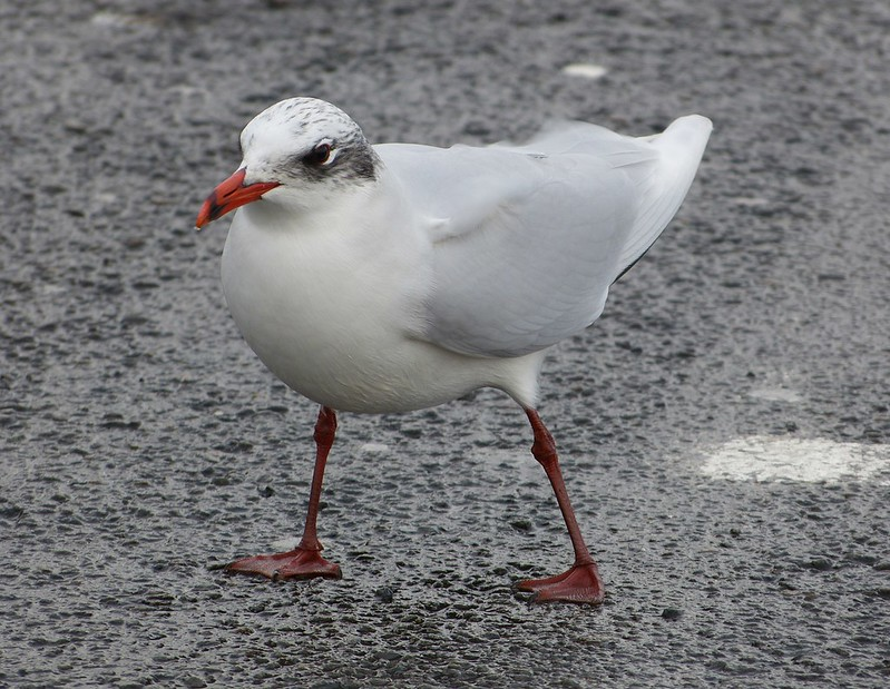P1060779 - Mediterranean Gull, Bracelet Bay