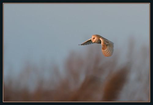 sunset bird nature barn dusk wildlife reserve owl prey fen ouse cambridgeshire birdofprey rspb