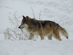 Mexican Grey Wolf in the Snow
