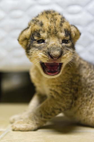 Newborn cub with open mouth by Tambako the Jaguar