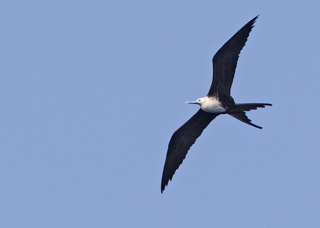 Magnificent Frigatebird 2014-02-02