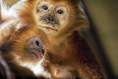 Golden Lion Tamarin Mother and Baby