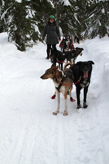 dog, winter, snow, mushing, sled dog racing, sled,