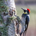 Acorn Woodpecker by Bothering Birds