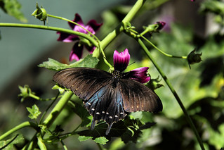 A beautiful Pipevine Swallowtail.