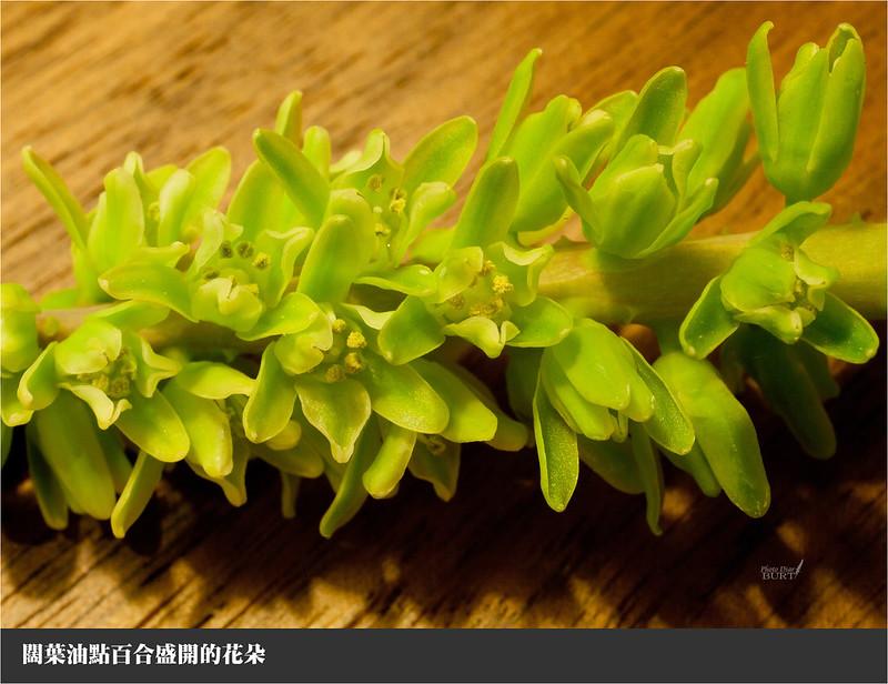 闊葉油點百合盛開的花朵