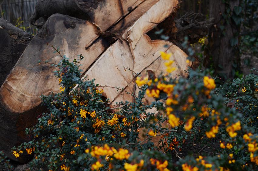 regent cut tree