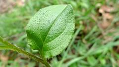 Austrocynoglossum latifolium leaf