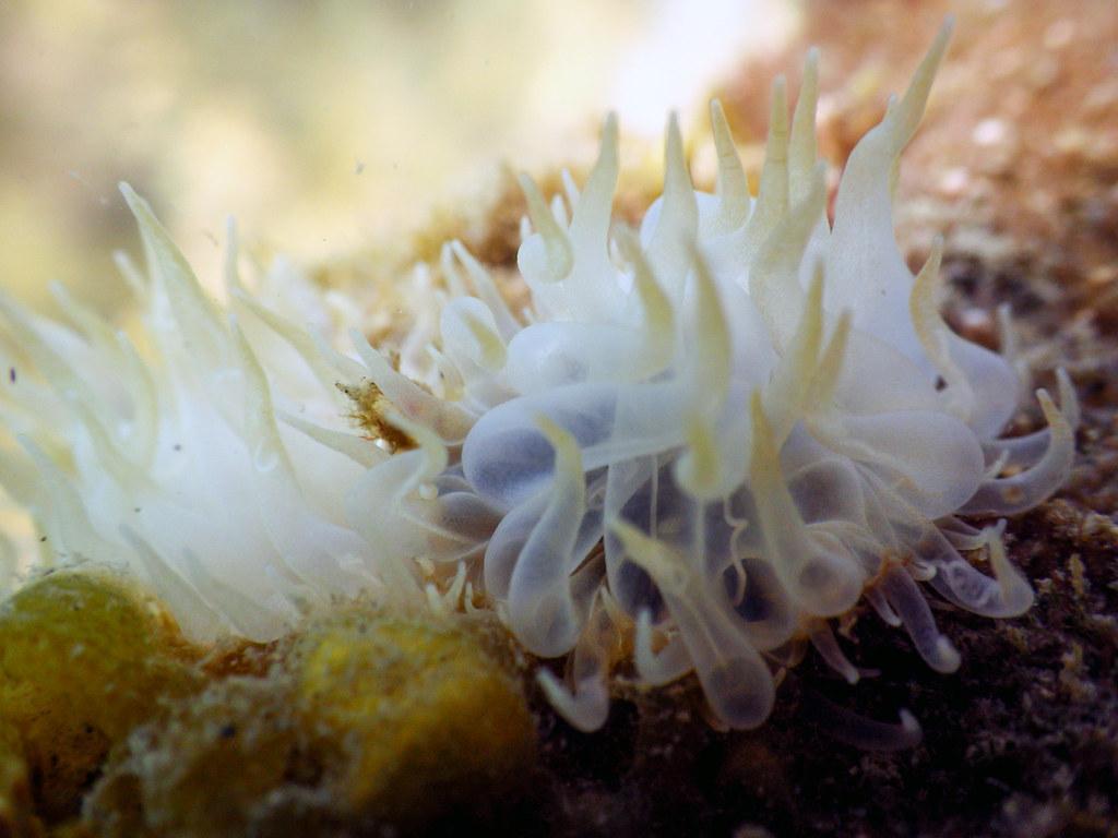 Ortiga Blanca (Aiptasia Mutabilis)