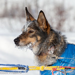 Mushers arrive in and depart from Carmacks, Yukon. Credit : Yukon Quest 2015 - Julien Schroder
