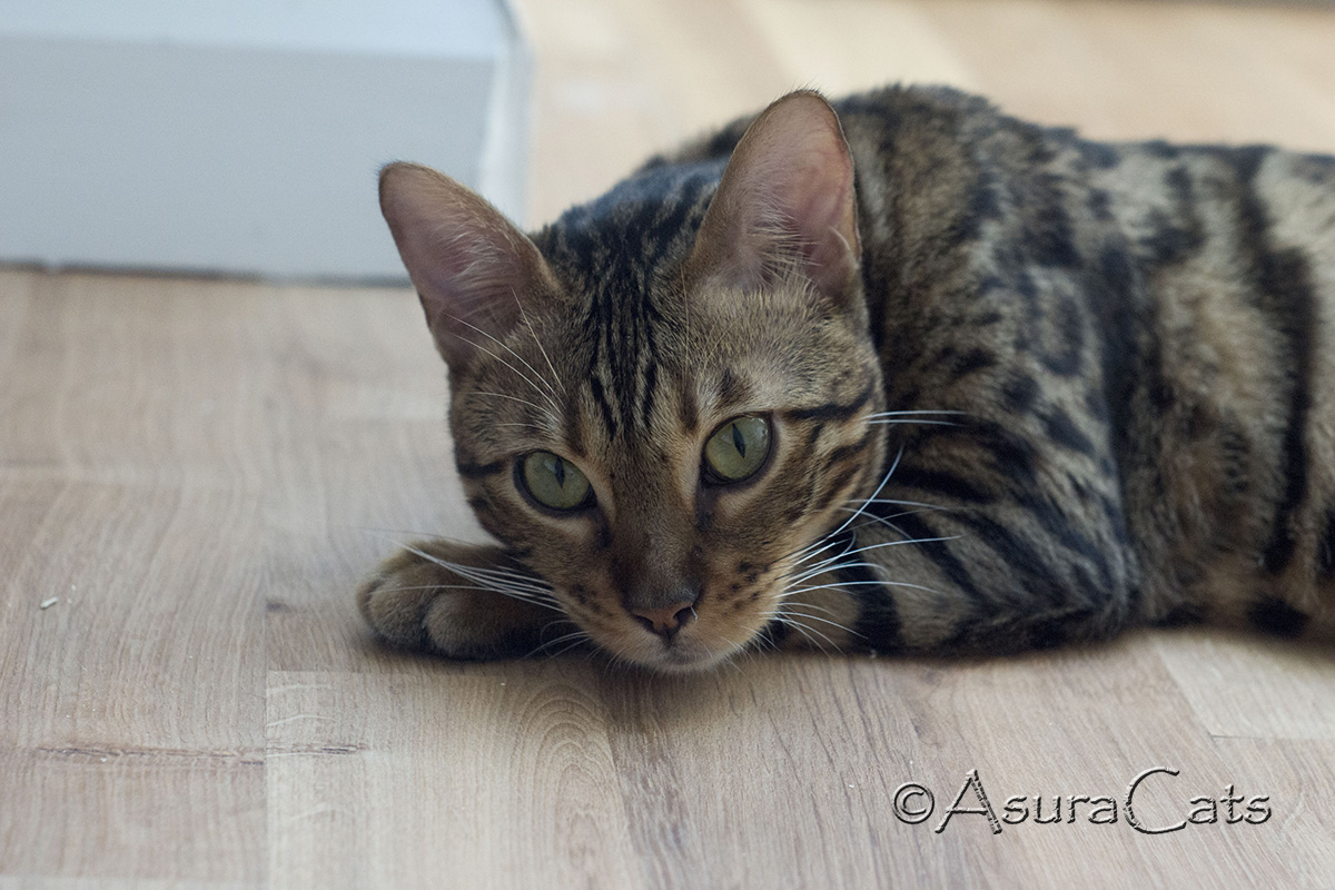 AsuraCats Kiah - Brown Rosetted female
