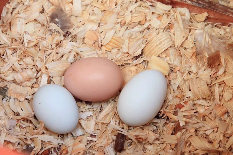 tarra chickens