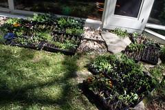 sunning seedlings  IMG_5617