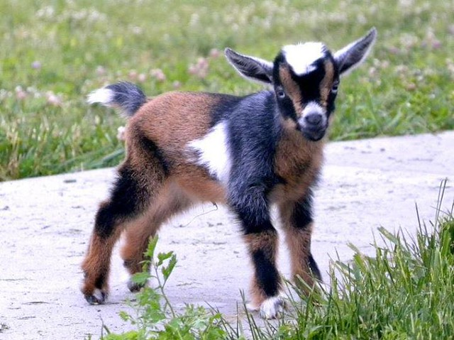 "Went to the nursery with Tom to buy some geraniums and this conversation ensued: Me: ""Look, Tom, metal goats!"" Tom: ""No."" Me: ""Better than a live one."" Cashier: ""Goats are great. My friend raises Nigerian dwarf goats. They're tiny and so cute!"" Lady behin"