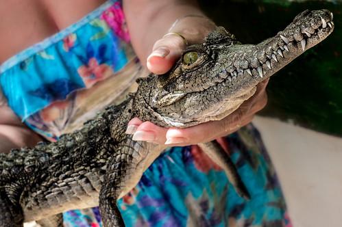 Cuban Crocodile.