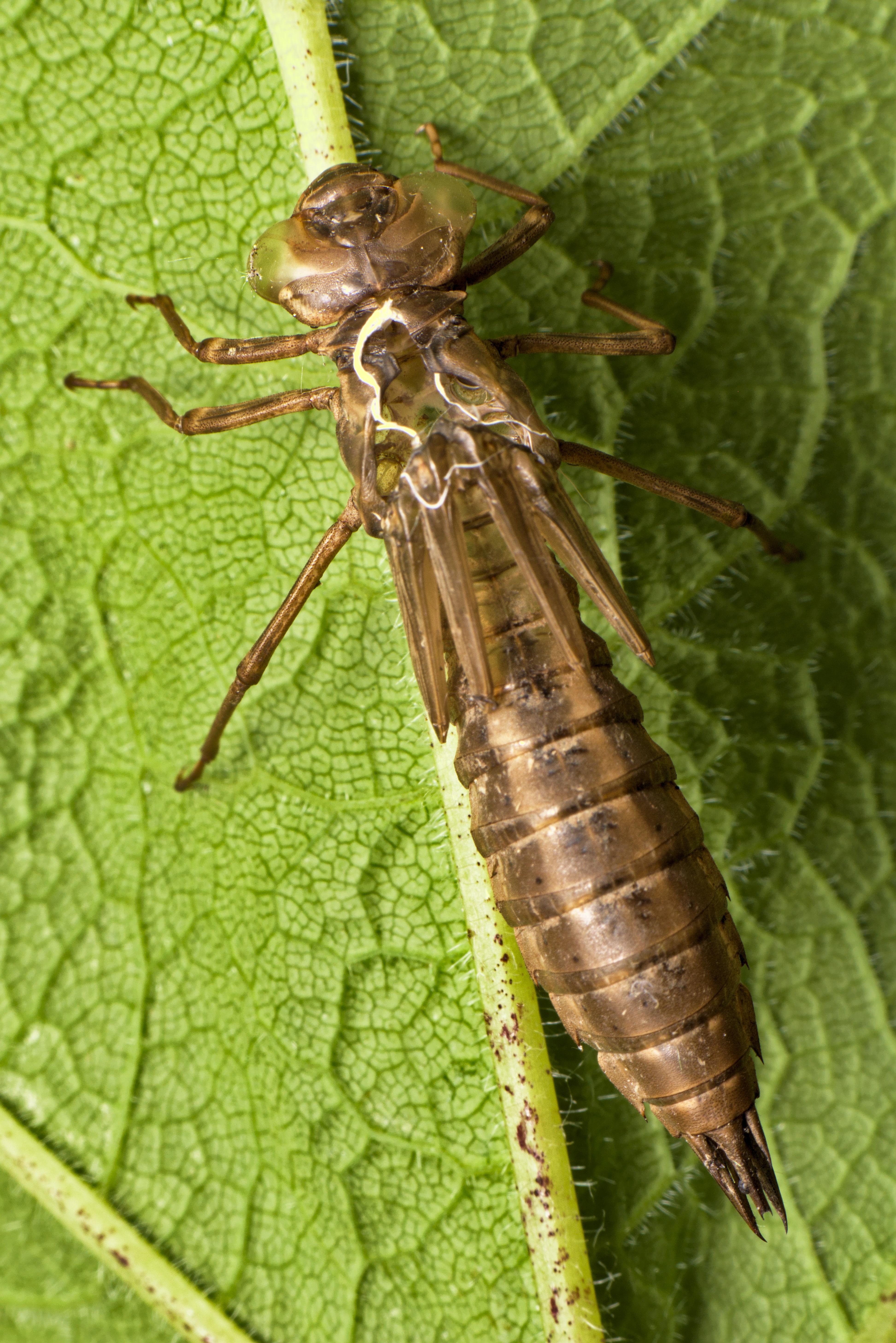 Dragonfly Exuvia [OC] [3890x5826]