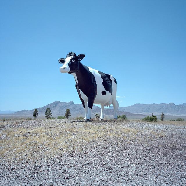 lonesome bovine. amargosa valley, nv. 2016.