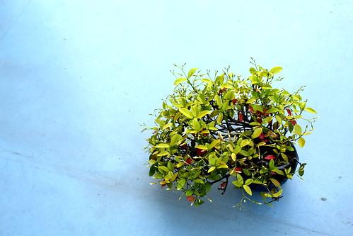 Bonsai Trachelospermum asiaticum