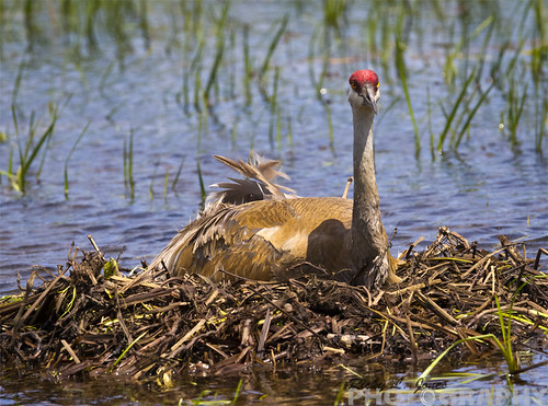 Sandhill Crane sitting on nest just outside Black Earth Wisconsin. by Ricky L. Jones Photography