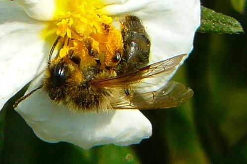 P1090469 -détail - abeille sur ciste de Montpellier