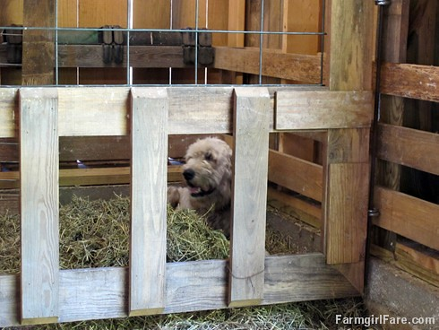 (30-17) Marta thinks the lamb creep feeder in the sheep barn is her personal napping pen - FarmgirlFare.com