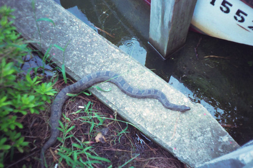 Northern Water Snake by bahayla